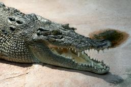 Crocodile_Crocodylus-porosus_amk2[1]
