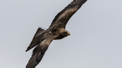 yellow-billed-kite-5